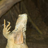 Green Iguana, Central and South America. Green Iguana standing and showing its claws, Central and South America Royalty Free Stock Photography