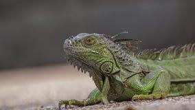 Green Iguana Sunbathing Royalty Free Stock Image