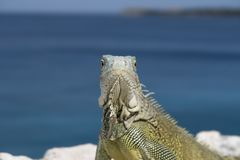 Green iguana portrait faces camera Stock Images