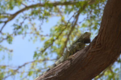 Green Iguana Climbing up the Trunk of a Tree Royalty Free Stock Image