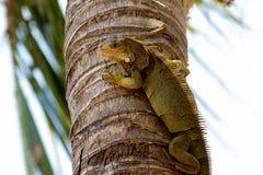 Green Iguana Close-Up Stock Photo