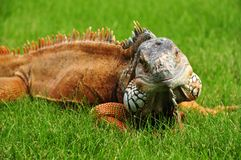 Green iguana close-up Stock Images