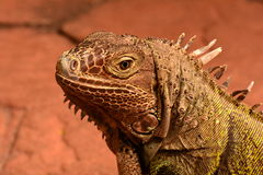 A Green Iguana Stock Photos