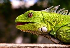 Green Iguana. A close up of a juvenile bright green Iguana royalty free stock photo