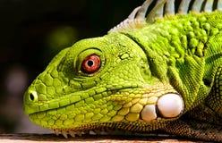 Green Iguana. A close up of a juvenile bright green Iguana stock photos