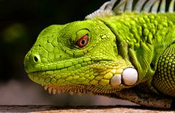 Green Iguana. A close up of a juvenile bright green Iguana royalty free stock images