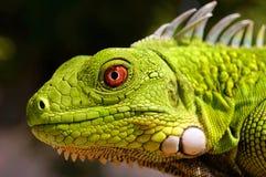 Green Iguana. A close up of a juvenile bright green Iguana stock photography