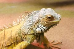 Green iguana, close-up photo. Green iguana Iguana iguana, close up photo Royalty Free Stock Images