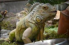 Green iguana. A close up shot of a green Iguana Stock Image