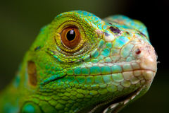Green Iguana Closeup. Green Iguanas are reptiles, and like all reptiles, they belong in the animal kingdom (Animalia). Within the animal kingdom, there are a Royalty Free Stock Images