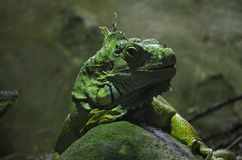 Green iguana closeup. Large green iguana sitting on a rock closeup Stock Photography