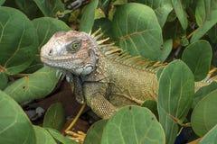 Green iguana closeup in native habitat Stock Image