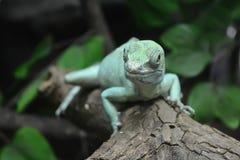 Green iguana. Royalty Free Stock Images