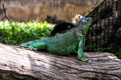 A green iguana Stock Image