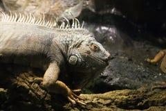Green Iguana or Common Iguana Stock Photography