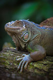 The green iguana Royalty Free Stock Image