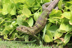 Green Iguana in Costa Rica Stock Images