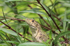 Green Iguana in Costa Rica Royalty Free Stock Photo