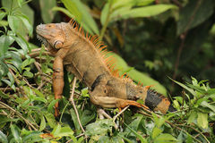 Green Iguana. A green iguana in Costa Rica, orange in colour in deference to the mating season Royalty Free Stock Photography