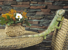 Green iguana. Crawling on chair Stock Photography
