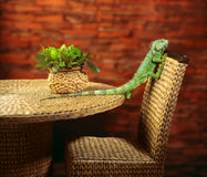 Green iguana crawling on chair. Green iguana crawling on wicker garden chair stock photos