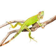 Green iguana crawling on dry branch. isolated on white Royalty Free Stock Images