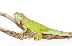 Green iguana crawling on dry branch. isolated on white background Royalty Free Stock Image