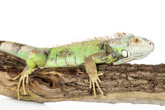 Green iguana crawling on a tree Stock Photo