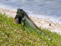 Green Iguana Displaying Neck Dewlap by Lake. Alert Green Iguana displaying neck dewlap by a lake Stock Photo