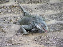 Green iguana drinking water from a pudafter raindle stock photography
