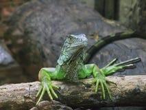 Green iguana drying manicure royalty free stock photo