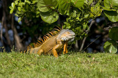 Green Iguana eating leaves. A Green Iguana eating leaves from a nearby tree Royalty Free Stock Images