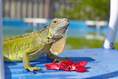 Green iguana eating rose petals Royalty Free Stock Photography