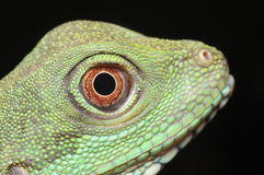 Green iguana eye royalty free stock image