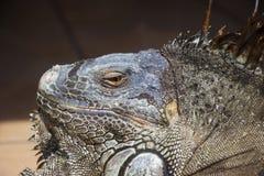 Green Iguana Facial Close Up Stock Image