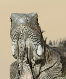 Green Iguana facing camera - Bonaire Royalty Free Stock Photos