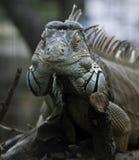 Green iguana frontal view Stock Photo