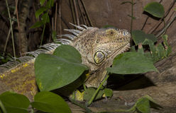 Green iguana between green leaves Royalty Free Stock Image
