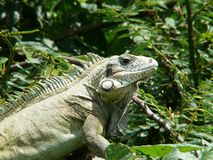 Green Iguana of Guadeloupe. French West Indies Royalty Free Stock Photos