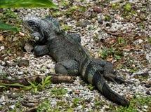 Green Iguana in Guadeloupe Stock Photo