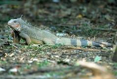 Green iguana, guanacaste, costa rica Royalty Free Stock Photo