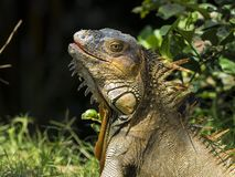 Green Iguana, head and upper body, highly textured skin stock photos