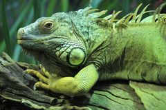 Green Iguana. Head and upper body of shot green iguana Royalty Free Stock Photos