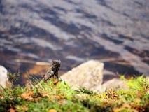 Green iguana head Royalty Free Stock Photo