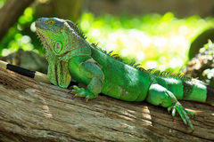 Green Iguana Royalty Free Stock Image
