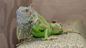 Green iguana. Hidden iguana after a walk Stock Photography