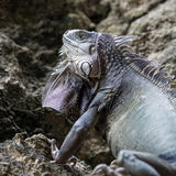 Green iguana hides in the rocks in Puerto Rico stock images