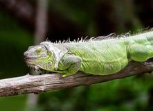 Green iguana Royalty Free Stock Photos
