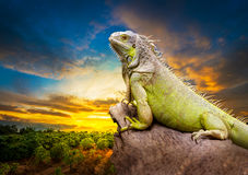 Green iguana. Hold on the dry timber at rural scene and sunset background stock images