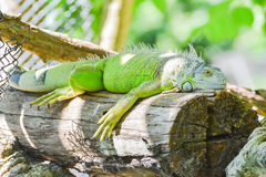 Green iguana (I. iguana) on log. Green iguana (I. iguana) crouches on log Royalty Free Stock Photos